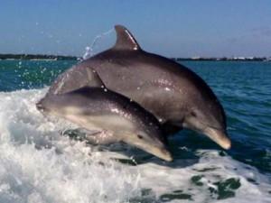 dolphins-oc1