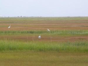 herons on marchses