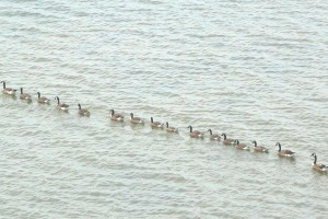 ocnj follow-the-leader mallards